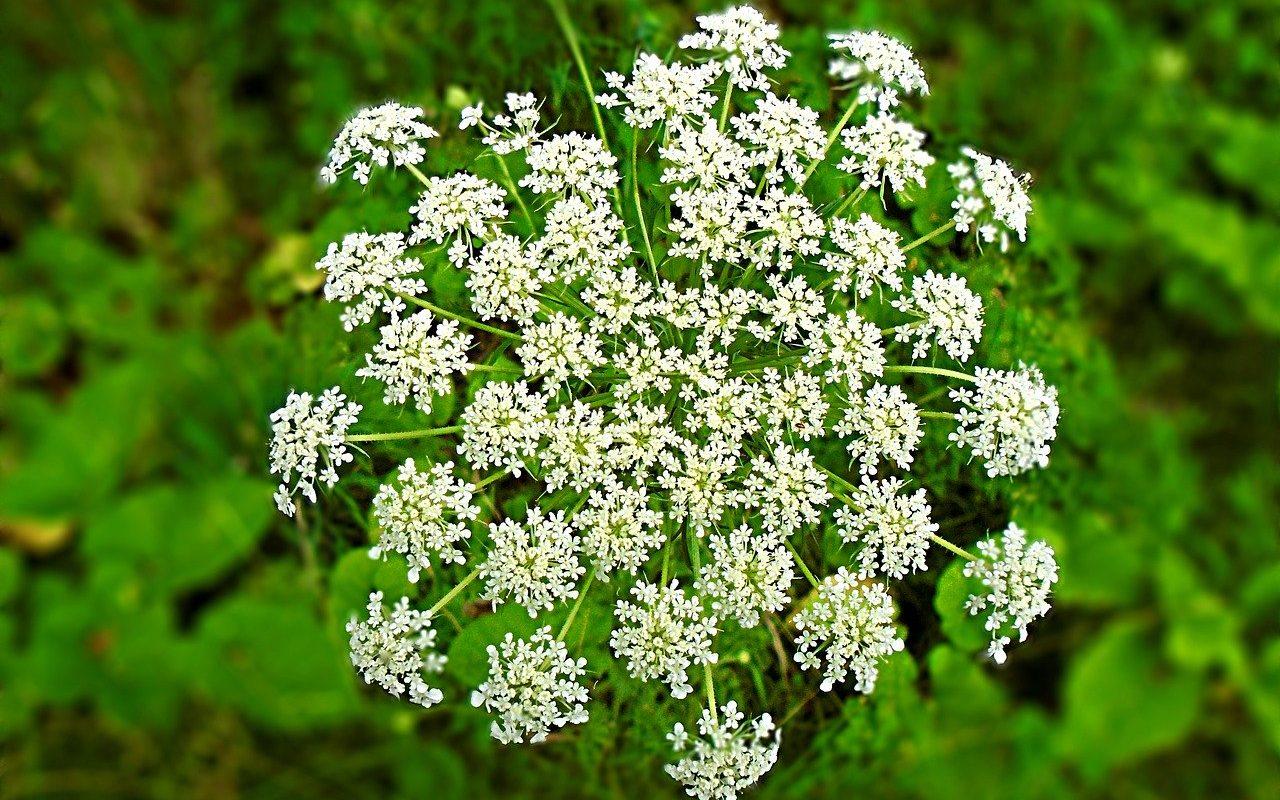 hemlock poisonous flower, the hemlock society